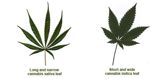 sativa-vs-indica-foglie