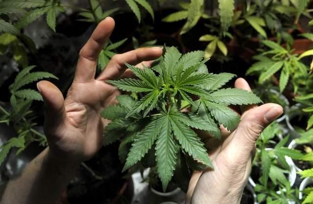 marijuana-ansia