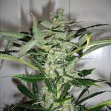 Auto Massive Bud (Azarius Seeds)