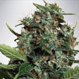 Autopilot XXL Autofiorente (Ministry of Cannabis)