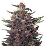 Semi Ayahuasca Purple Femminizzati (Barney's Farm)