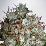 Big Bud XXL Femminizzata (Ministry of Cannabis)