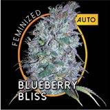 Blueberry Bliss Autofiorente femminizzato (Vision Seeds)