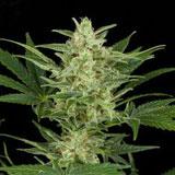 Critical Jack Autofiorente (Dinafem Seeds)