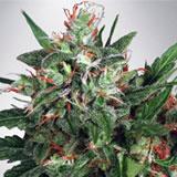 Early XXX Femminizzata (Ministry of Cannabis)