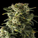 Haze Autofiorente (Dinafem Seeds)