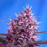 Red Poison Autofiorente (Sweet Seeds)
