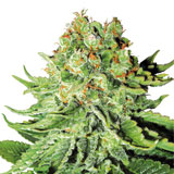 Northern Lights Autofiorente (White Label / Sensi Seeds)