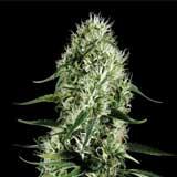 Super Silver Haze (Greenhouse Seeds Co.)