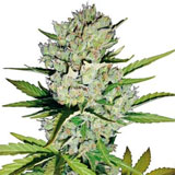 Super Skunk Autofiorente (Sensi Seeds / White Label)
