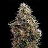 Sweet Mango Autofiorente Femminizzata (Greenhouse)
