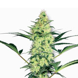 White Diesel Femminizzata (Sensi Seeds / White Label)