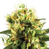 White Haze Autofiorente (Sensi Seeds)