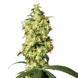 White Widow (Sensi Seeds)