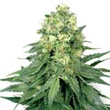 White Widow Femminizzata (White Label/Sensi Seeds)
