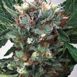 Zensation Femminizzata (Ministry of Cannabis)