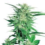 Big Bud Femminizzata (Sensi Seeds)