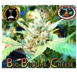 Big Buddha Cheese Femminizzata (Big Buddha)