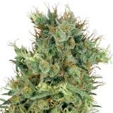 Cali Orange Bud (Sensi Seeds / White Label)