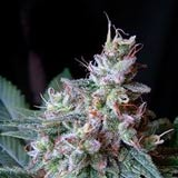 Cream Caramel F1 Fast Version Femminizzata (Sweet Seeds)