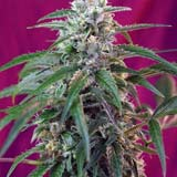Semi di Green Poison Autofiorente (Sweet Seeds)