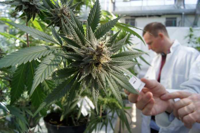 Cannabis terapeutica in laboratorio
