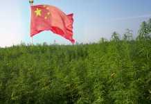 cannabis e medicina tradizionale cinese
