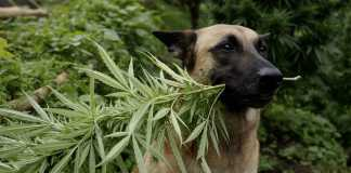 marijuana per cani e gatti